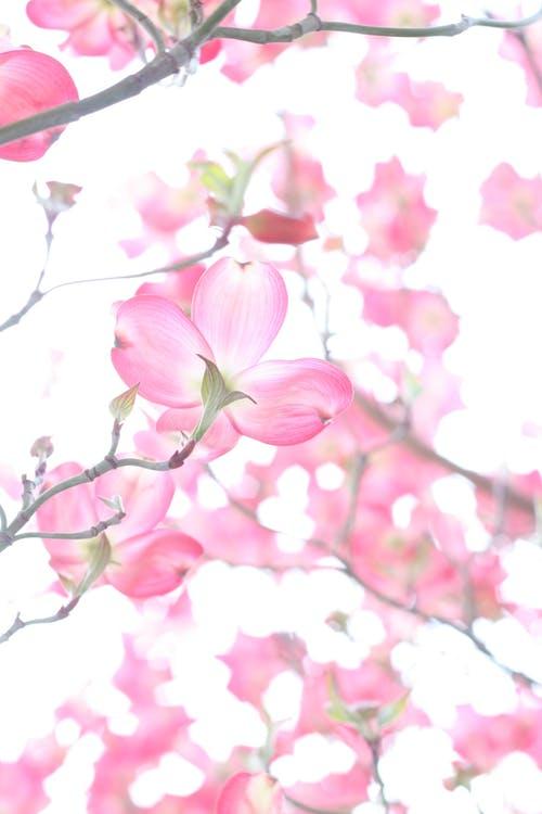 fleur rose de printemps symbole de renaissance